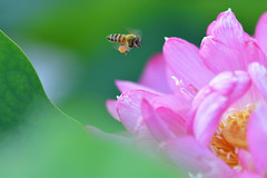 Lotus flower and a bee (myu-myu) Tags: nature flower insect bee nikon d500      japan lotus