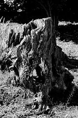 BW stump (timbo on the hill) Tags: dxo summer usa indiana bw stump tree sun