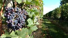 Weintrauben in den Weinbergen bei Selzen (Frank Hamm) Tags: weinberge rheinhessen selzen weintrauben
