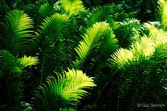 Fougres (guysamsonphoto) Tags: guysamson sonyalpha6300 sony70200f4 fougres green vert foliage hdr aurorahdrpro