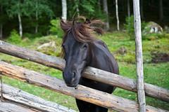 At the fence (estenvik) Tags: 2016 august eggemuseum erikstenvik estenvik sommer hest horse ponni pony beutw pasture steinkjer norway