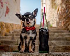 Captain Barman (StoryofLove Chihuahuas) Tags: dog doggie dogie dogs handsome perrito puppie puppi puppy perro pet pets pupie cachorro cahorrito coca coke barman love sweet barcelona animal animals cute