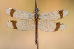 Sympetrum pedemontanum ♀ (Prajzner) Tags: sympetrumpedemontanum bandeddarter darter sigma105mmmacro sigma subcarpathia nikond7100 naturallight nature odonata dragonfly