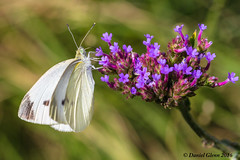 Cabbage White Butterfly (Pieris rapae) (danielusescanon) Tags: cabbagewhitebutterfly pierisrapae brooksidegardens maryland