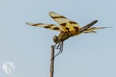 Halloween Pennant (RGL_Photography) Tags: celithemiseponina dragonfly halloweenpennant insects libellulidae mothernature nature nikonafs200500mmf56eedvr nikond500 sharkriver wildlifephotography neptunecity newjersey unitedstates us gardenstate jerseyshore monmouthcounty