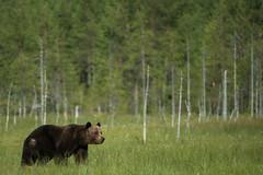 Brown Bear - Ours brun (Samuel Raison) Tags: ours bear brownbear wildbrownbear oursbrun nature wildlife wild animauxsauvages animal nikon nikon4200400mmafsgvr nikonpassion fantasticwildlife