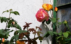 Rosen; Bergenhusen, Stapelholm (20a) (Chironius) Tags: stapelholm bergenhusen schleswigholstein deutschland germany allemagne alemania germania    ogie pomie szlezwigholsztyn niemcy pomienie blte blossom flower fleur flor fiore blten    rosids fabids rosales rosenartige rosaceae rosengewchse rosoideae rosa rose rosen roses roze gl  orange