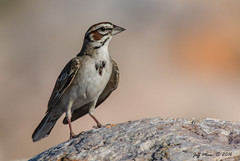 Lark Sparrow (Jmawnster) Tags: chondestesgrammacus larksparrow sparrow antelope island utah