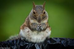 Un écureuil sur sa poubelle perché (alex.bernard) Tags: écureuil squirrel animal roi king montréal parclafontaine été summer extérieur outdoor québec canada canon canon5diii sigma sigma70200mm 70200mm
