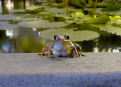 King of the pond (Roving I) Tags: evening frogs animals ponds pools waterlilies novotel hotels hospitality danang vietnam nature