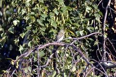 Willow Flycatcher (glenbodie) Tags: iona 201634 flycatcher willow glen bodie glenbodie dncb