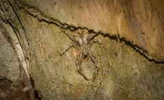 relaxed crab spider (dustaway) Tags: arthropoda arachnida araneae araneomorphae thomisidae stephanopinae stephanopis crabspider australianspiders tuckeanswamp richmondvalley northernrivers nsw australia nature