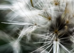 Macro dandelion (markgrainger) Tags: flowersplants macro spring beautifull dandelions nature pant summer white