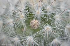 Sanft eingebettet entsteht eine neue Blüte * A new flowering occurs gently nestled * Una nueva floración se produce suavemente enclavado *   . _DSC4517-001 (Maya HK - On and Off) Tags: 180916 2016 blüten cactus copyrightbymayawaltihk flickr kakteen kaktus knospen makro nikond3200 pflanzen plantas plants sanft soft suave explored