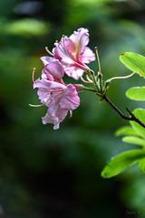 A Touch of Pink (Jocey K) Tags: newzealand christchurch azalea curatorshousegardens flower