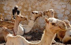 Akurdet /  (Eritrea) - Camel Parking (Danielzolli) Tags: akurdet  agordat agurdet akwirdet akordat eritrea  ertra erythre  erythrea  eritra habesha gash barka gashbarka gashsetit kamel chameau camel camello parkplatz parking parcheggio mercado markt market mercato march rynek targ targowisko trziste trh trg rynok stand stall basar bozor bazaar bazar   souq souk suq suk shuk