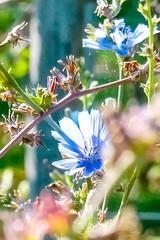 14-08-08 wies blau nah 2 dsc01123 (u ki11) Tags: blte kreuzung nah punktblau stempel twunscharf weinstock zweig