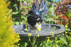 Making A Splash.......... (law_keven) Tags: birds magpies magpie gardenbirds catford london england birdbath splashing splash