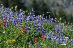 IMG_2222 (Zach Hawn) Tags: mountain wildlife wilderness wild outdoors pnw pacificnorthwest washington nationalpark mrnp mora hiking mountrainier mtrainier rainier hike alpine nature