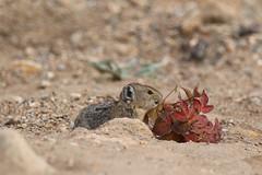 Ochotona princeps (dhobern) Tags: rockymountainnationalpark colorado usa september 2016 mammalia lagomorpha ochotonidae ochotona princeps