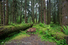 In the Hoh Rainforest (Michael Pancier Photography) Tags: forest washington rainforest unitedstates portangeles pacificnorthwest ferns forks olympicnationalpark fineartphotography hohrainforest travelphotography commercialphotography naturephotographer landscapephotographer fineartphotographer michaelapancier wwwmichaelpancierphotographycom