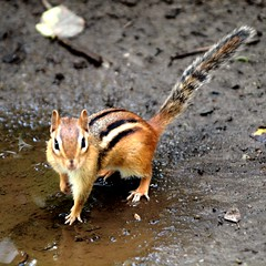 Tamia - Chipmunk (Cokebuster) Tags: animal chipmunk tamia