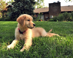 The cover of next mont's GQ magazine (Steve took it) Tags: dog puppy golden retriever keegan