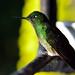 Un bellissimo colibrì in Acaime