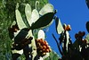 prickly pear (Opuntia ficus-indica)