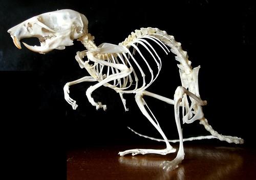 Vole Skeleton Head Mouse Skeleton  Apodemus