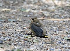 Baby Cedar Waxwing (K Fletcher) Tags: baby canada calgary bird alberta cedar waxwing