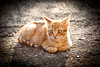 Moixet ros (Juan Antonio Capó) Tags: pet animal cat kat feline chat pussy kitty gato felino katze mace 猫 gatto חתול mascota kot gat kočka kedi descanso gatito kissa köttur mačka kucing pusa mèo moix گربه кошка kitti 고양이 minino γάτα мачка котка pisică แมว قط кішка 잭 קאַץ վալետ िल्ली