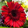 Red gerbera (Valery Chernodedov) Tags: flowers flower russia siberia gerbera niceflower redgerbera mimamorflowers ustilimsk
