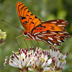 Gulf Fritillary (Agraulis vanillae) on Feay's Palafox (bob in swamp) Tags: orange butterfly nikon florida ngc coolpix palmbeachcounty gulffritillary nymphalidae agraulisvanillae agraulis palafoxia junodunesnaturalarea taxonomy:binomial=agraulisvanillae passionbutterfly feayspalafox palafoxiafeayi