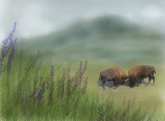 Do you want to be right or do you want to be happy? (Luvin' the light) Tags: buffalo yellowstonenationalpark bison lockedhorns rubyblossombackground doyouwanttoberight ordoyouwanttobehappy