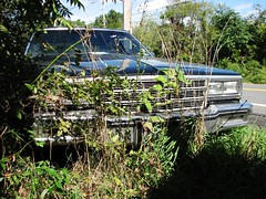 OVERGROWN '84 IMPALA (richie 59) Tags: autumn usa cars chevrolet abandoned overgrown car rural america sedan outside us weeds automobile gm unitedstates headlights grill vehicles faded chevy chrome upstatenewyork vehicle newyorkstate oldcar impala oldcars automobiles rustycar 2012 chevys wornout nystate americancars frontend generalmotors abandonedcar hudsonvalley grills blackcar americancar motorvehicles fadedpaint ulstercounty chevyimpala oldchevy motorvehicle 4door uscar uscars midhudsonvalley fourdoor blackcars ulstercountyny 4doorsedan rustychevy fourdoorsedan gmcar bbody gmcars americansedan oldchevys chevysedan 1980scar oldsedan 1984chevy 1980scars richie59 townofsaugertiesny townofsaugerties sep2012 sep232012 1984chevyimpala 1984impala