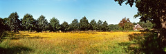 Field of yellow flowers panorama (RolandHut) Tags: trip flowers summer panorama holland film netherlands field yellow rural outdoors countryside olympus 35 olympustrip35 trip35