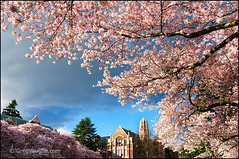 University of Washington cherry trees (Greg Vaughn) Tags: seattle travel usa west flower nature horizontal america campus landscape outdoors washington blossom scenic nobody american western bloom pacificnorthwest flowering blossoming colleges northwestern cherry
