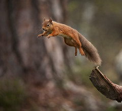Red Squirrel jumping away with mouthful of food (Margaret J Walker) Tags: autumn nature scotland jumping wildlife leaping redsquirrel cairngormsnationalpark scottishhighlands specanimal nikon300mmf4 specanimalphotooftheday nikond700 caledonianpineforest