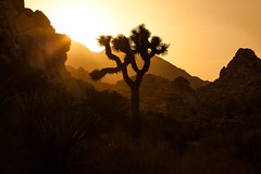 The King Of Ai (Hidden Valley Sunset), Joshua Tree (flatworldsedge) Tags: california sunset tree silhouette nationalpark joshua hidden boulders valley backlit yucca rockery brevifolia 5dmkii yahoo:yourpictures=shadows