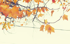 (ohpapercut) Tags: autumn tree fall nature leaves wisconsin october      ohpapercut