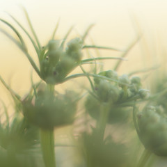 i've got a dream with your face in it (macywood) Tags: flowers macro green nature blurry dreamy blartsy