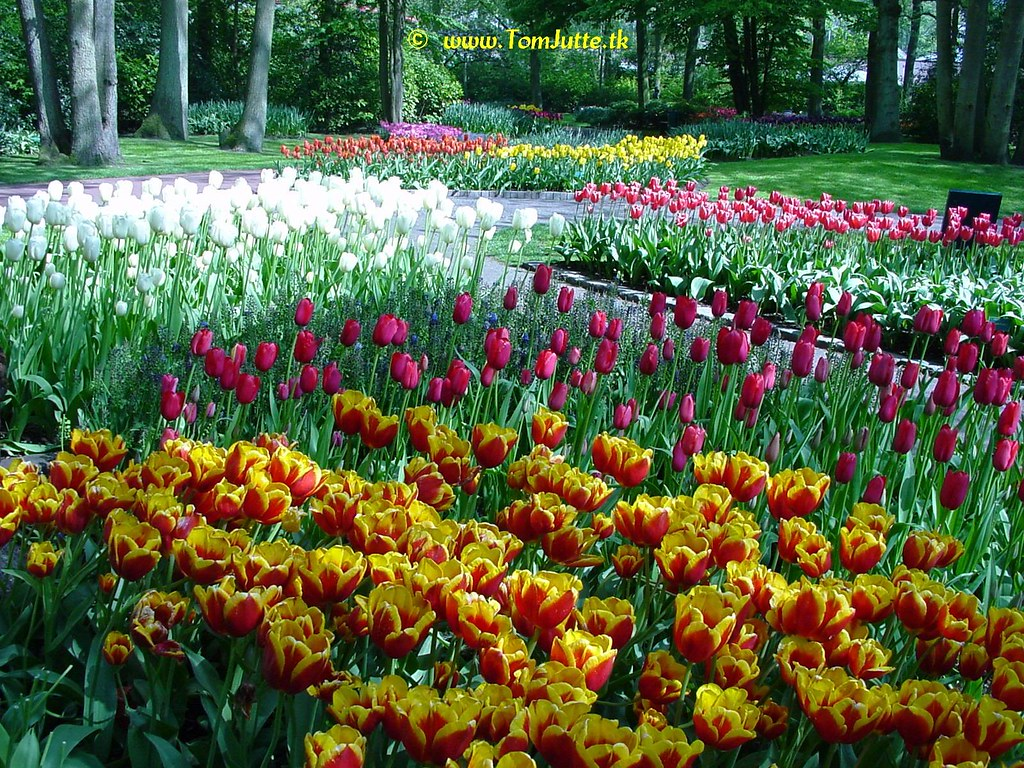 Dutch Tulips, Keukenhof Gardens, Netherlands -...
