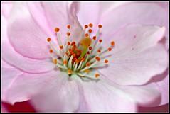 Roze bloesem (ReCyVer) Tags: pink flowers bloesem roze bloem