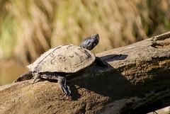 VanTatenhoveJ_NearNeversDamLanding_MapTurtle_20150929_vpp (St.CroixNationalScenicRiverwayNPS) Tags: animal turtle reptile basking