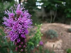 Encuentros con la naturaleza..053 (adioslunitaadios) Tags: florrosa plantasyflores campo airelibre macro fujifilm