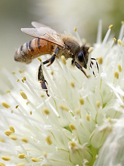 Honeybee on the Leek Flower (Johnnie Shene Photography(Thanks, 2Million+ Views)) Tags: honeybee bee insect hymenoptera hymenopteran perching resting vertical photography outdoor colourimage fragility freshness nopeople foregroundfocus bug nature natural wild wildlife animal behaviour feeding leekflower flora floral macro closeup magnified adjustment fulllength interesting awe wonder depthoffield korea korean lighteffect day spring canon eos600d rebelt3i kissx5 tamron 90mm f28 11 lens 꿀벌 벌 곤충 접사 매크로 파꽃