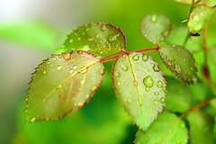After rain (pszcz9) Tags: polska poland przyroda nature li leaf raindrop kropla zblienie closeup bokeh beautifulearth sony a77