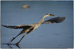 Great Blue Heron (RKop) Tags: a77mk2 jndaringwildliferefuge florida raphaelkopanphotography 600mmf4apogminolta sony wildlife