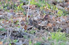 2016 Fox Sparrow (DrLensCap) Tags: montrose point bird sanctuary chicago illinois fox sparrow il robert kramer